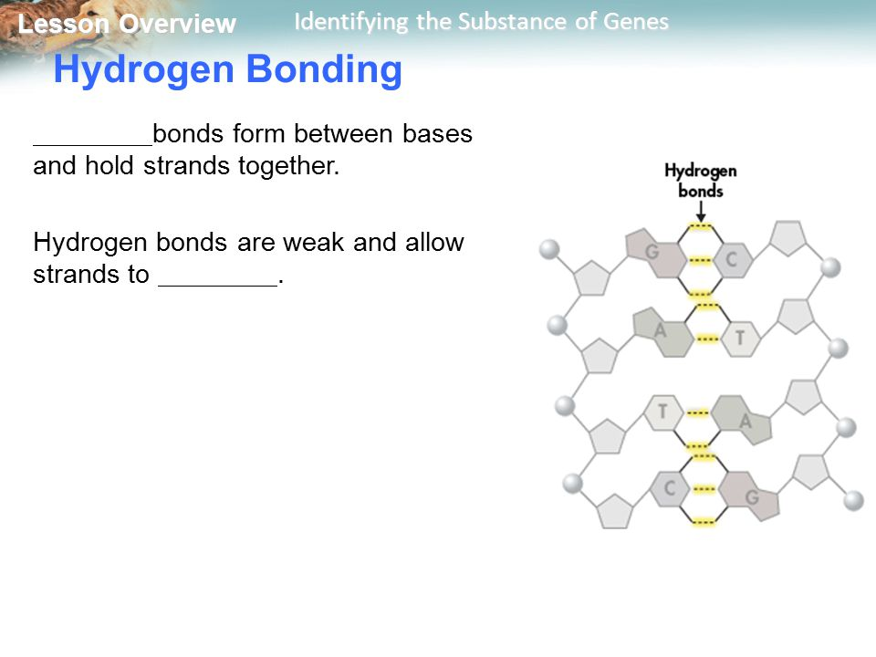 Lesson Overview Lesson Overview Identifying the Substance of Genes Hydrogen Bonding bonds form between bases and hold strands together. Hydrogen bonds