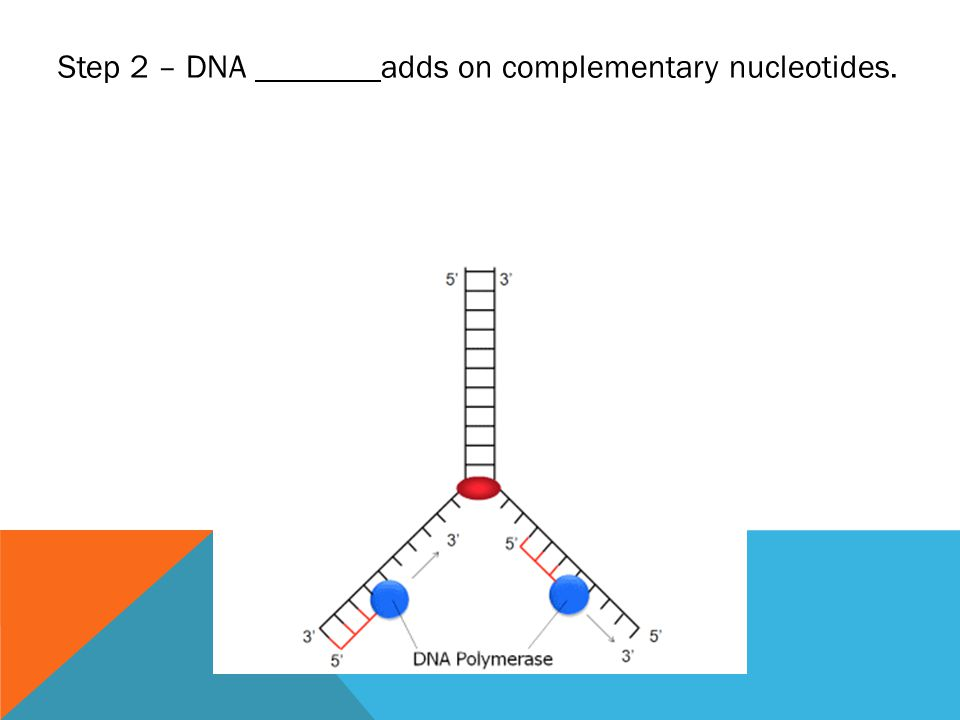 Step 2 – DNA adds on complementary nucleotides.