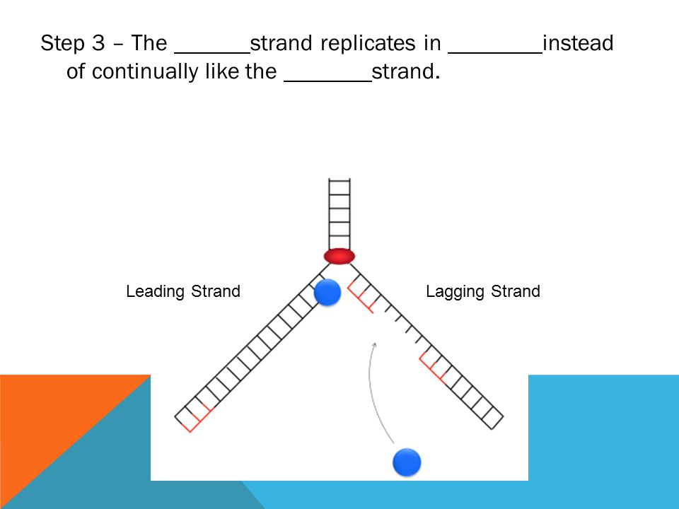 Step 3 – The strand replicates in instead of continually like the strand.