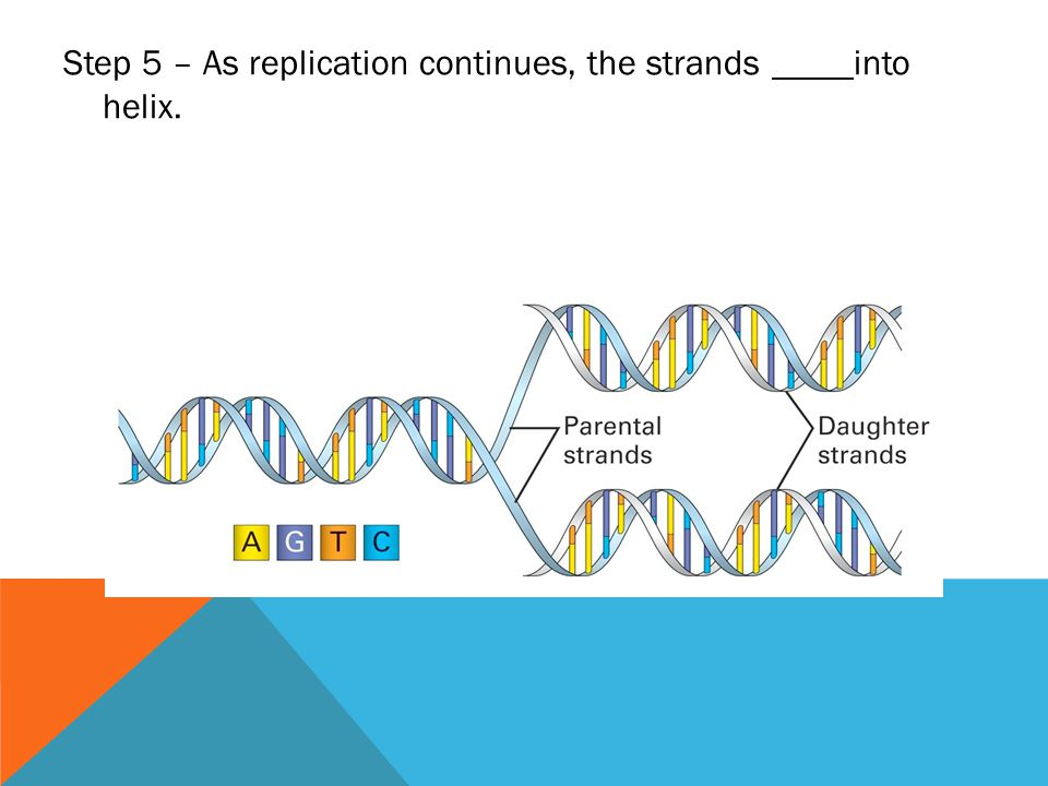 Step 5 – As replication continues, the strands into helix.