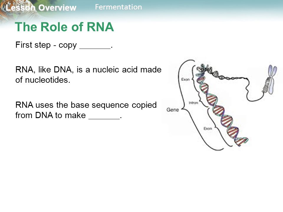 Lesson Overview Lesson OverviewFermentation The Role of RNA First step - copy.
