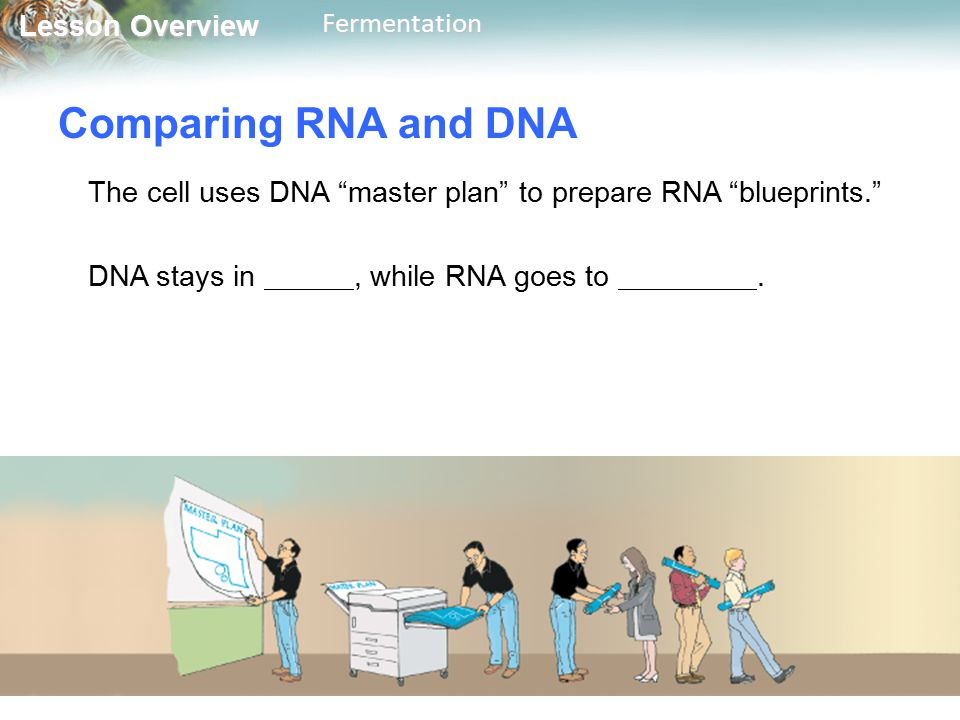 """Lesson Overview Lesson OverviewFermentation Comparing RNA and DNA The cell uses DNA """"master plan"""" to prepare RNA """"blueprints."""" DNA stays in, while RNA"""