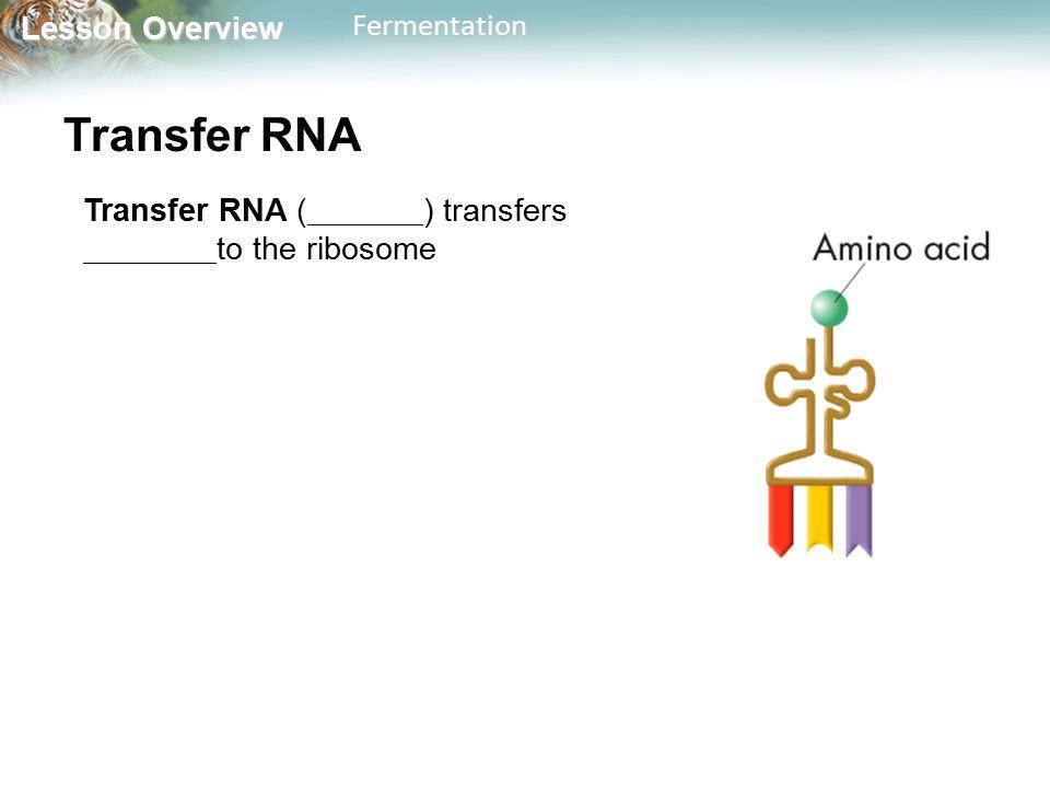 Lesson Overview Lesson OverviewFermentation Transfer RNA Transfer RNA ( ) transfers to the ribosome