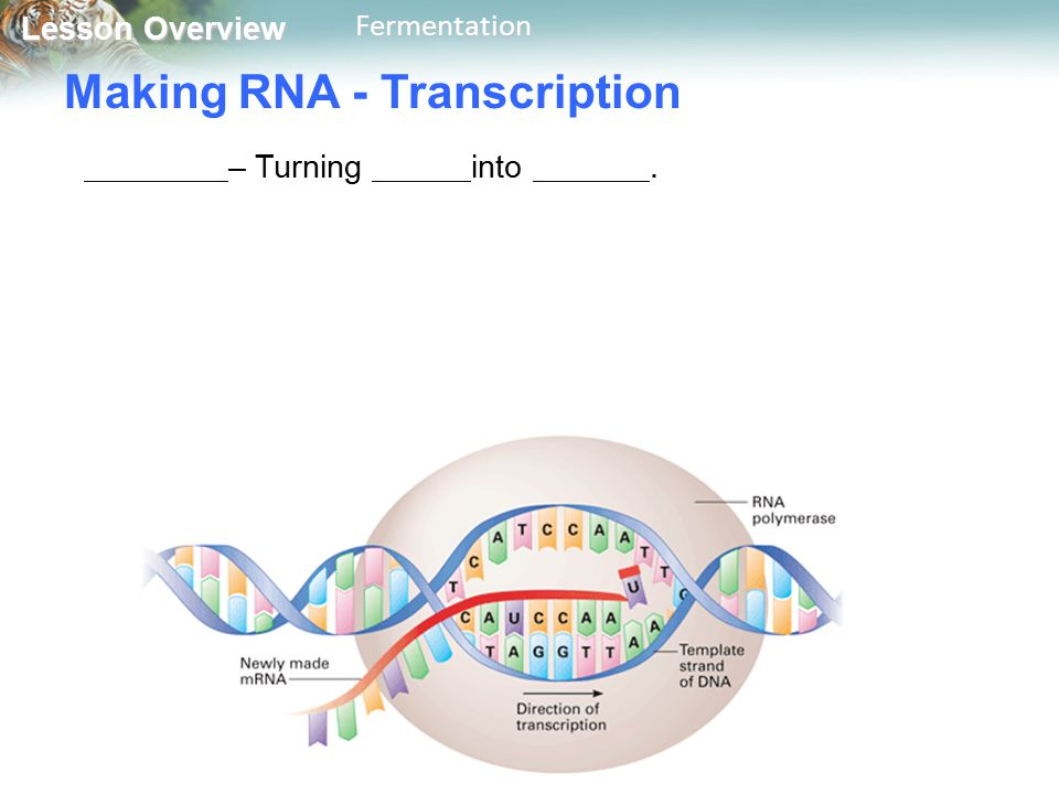 Lesson Overview Lesson OverviewFermentation Making RNA - Transcription – Turning into.