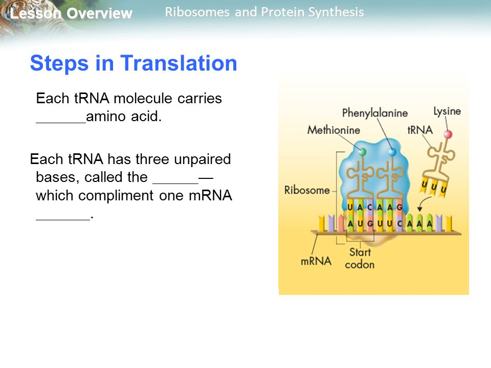 Lesson Overview Lesson Overview Ribosomes and Protein Synthesis Steps in Translation Each tRNA molecule carries amino acid. Each tRNA has three unpair