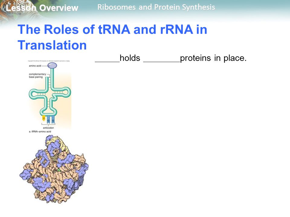 Lesson Overview Lesson Overview Ribosomes and Protein Synthesis The Roles of tRNA and rRNA in Translation holds proteins in place.