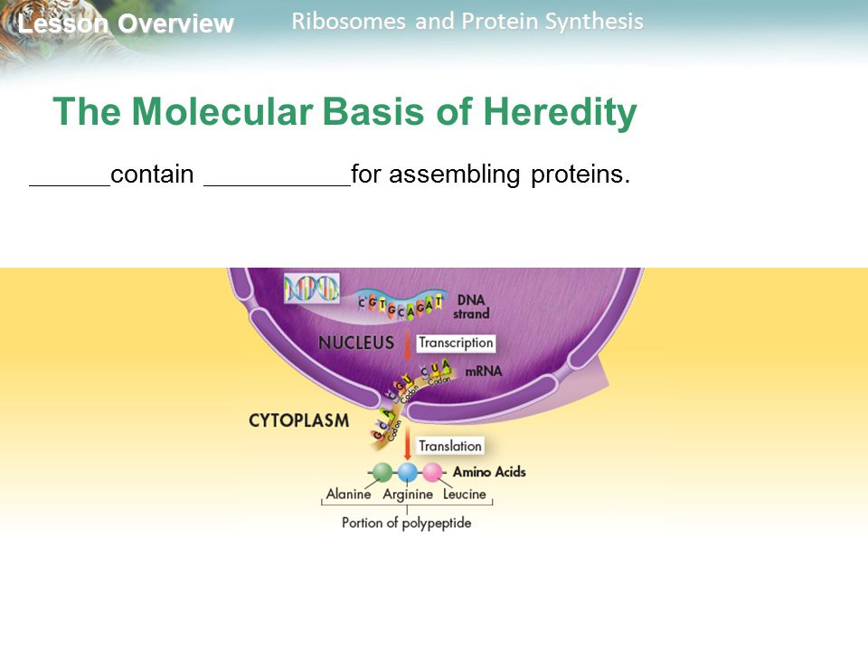 Lesson Overview Lesson Overview Ribosomes and Protein Synthesis The Molecular Basis of Heredity contain for assembling proteins.