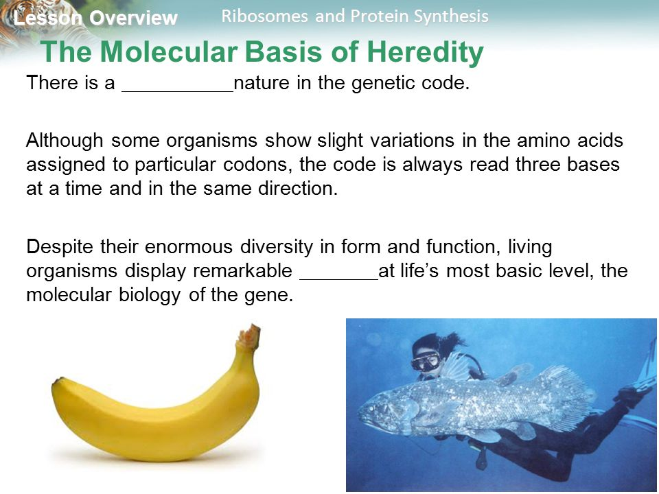 Lesson Overview Lesson Overview Ribosomes and Protein Synthesis The Molecular Basis of Heredity There is a nature in the genetic code. Although some o