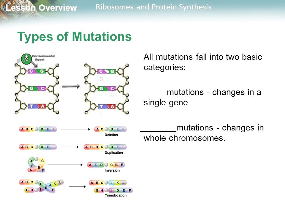 Lesson Overview Lesson Overview Ribosomes and Protein Synthesis Types of Mutations All mutations fall into two basic categories: mutations - changes i