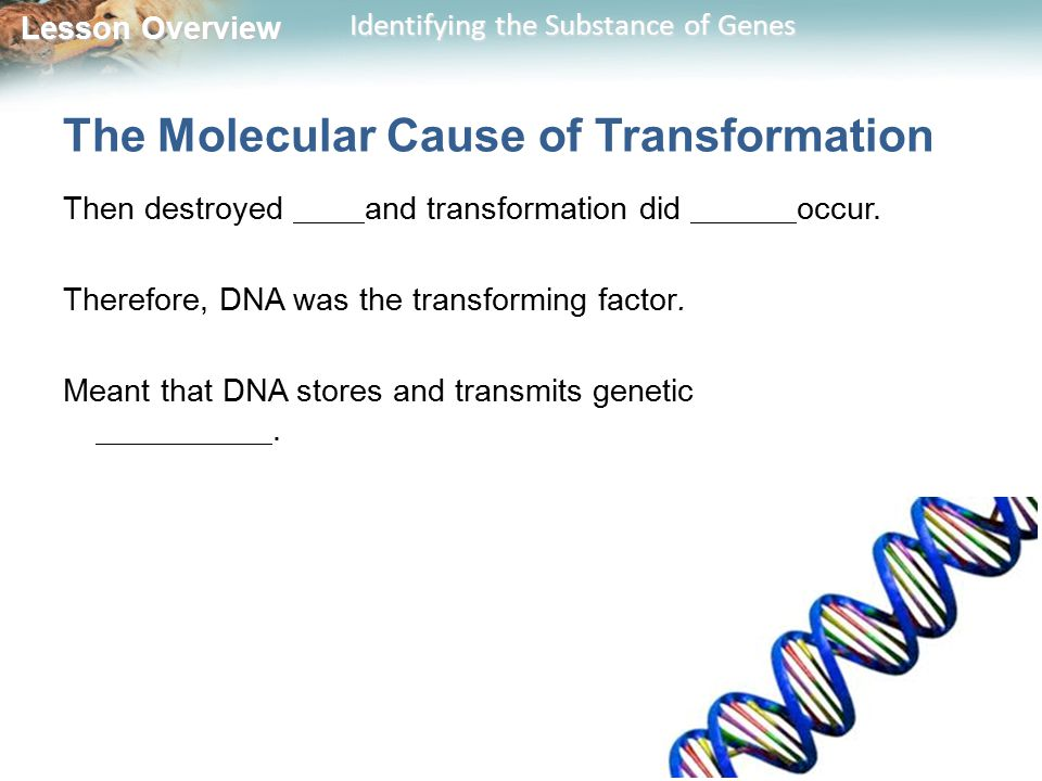 Lesson Overview Lesson Overview Identifying the Substance of Genes The Molecular Cause of Transformation Then destroyed and transformation did occur.