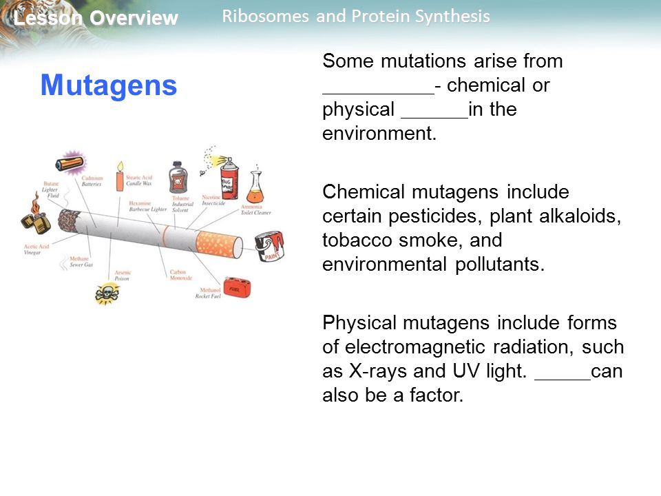 Lesson Overview Lesson Overview Ribosomes and Protein Synthesis Mutagens Some mutations arise from - chemical or physical in the environment.