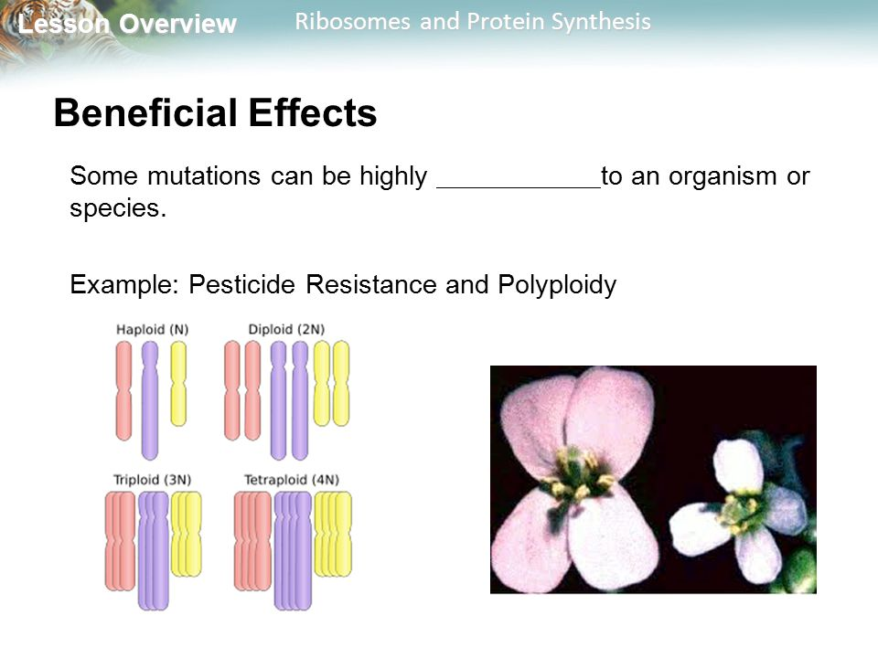 Lesson Overview Lesson Overview Ribosomes and Protein Synthesis Beneficial Effects Some mutations can be highly to an organism or species. Example: Pe