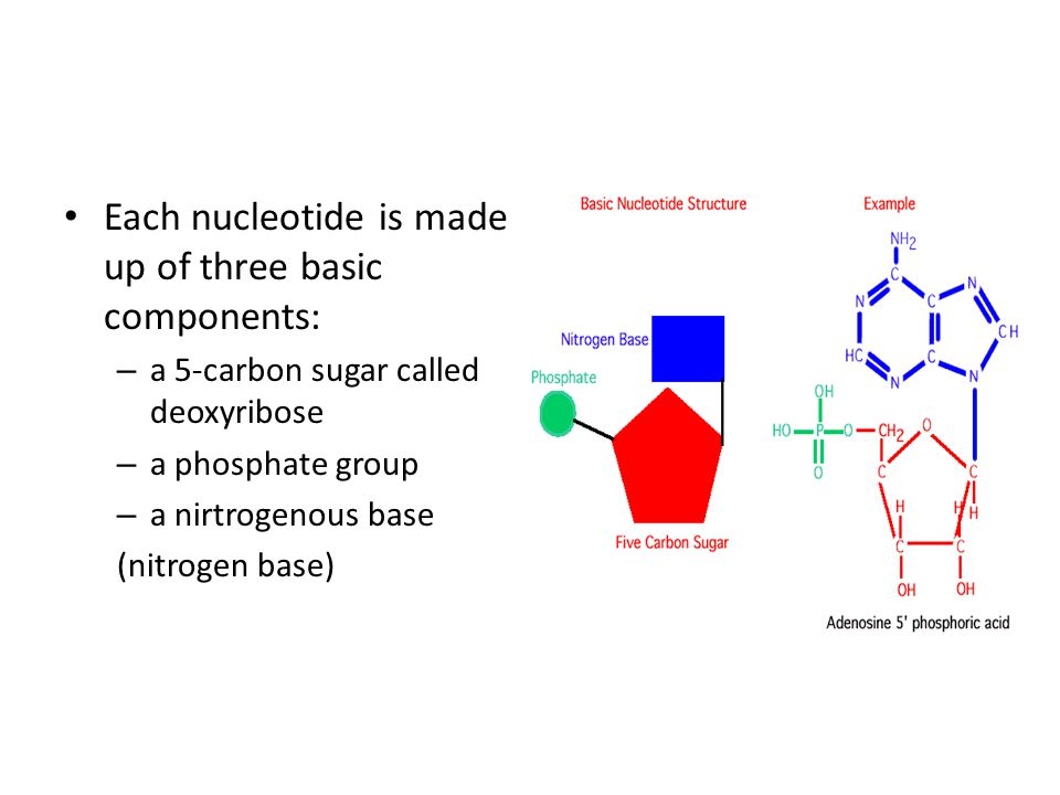 Each nucleotide is made up of three basic components: – a 5-carbon sugar called deoxyribose – a phosphate group – a nirtrogenous base (nitrogen base)