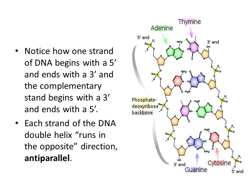 Notice how one strand of DNA begins with a 5' and ends with a 3' and the complementary stand begins with a 3' and ends with a 5'.