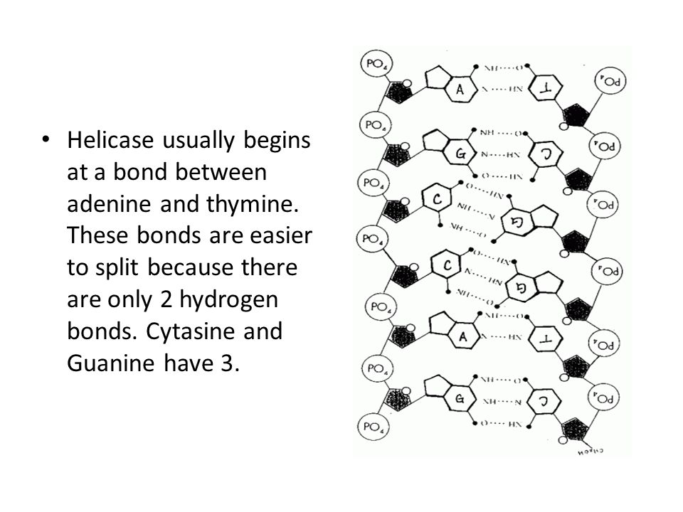 Helicase usually begins at a bond between adenine and thymine.