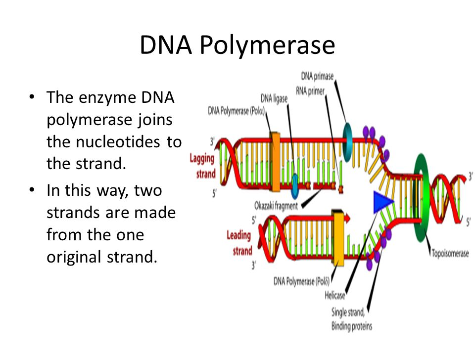 DNA Polymerase The enzyme DNA polymerase joins the nucleotides to the strand.