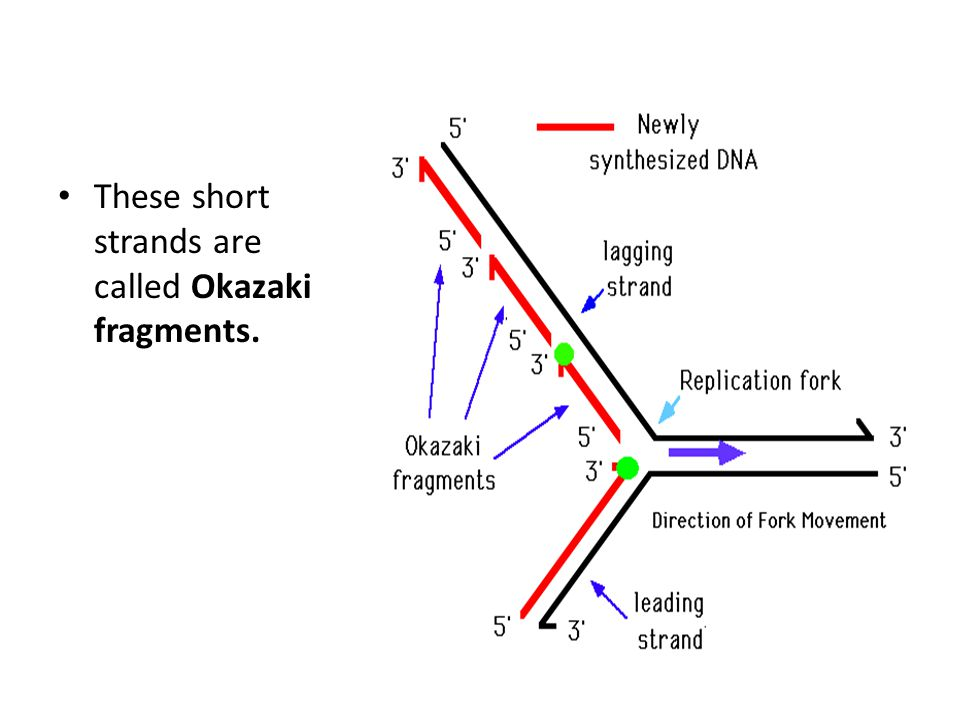 These short strands are called Okazaki fragments.