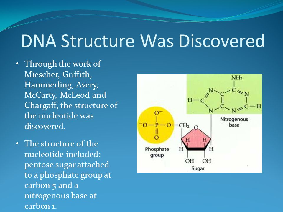 DNA Structure Was Discovered Through the work of Miescher, Griffith, Hammerling, Avery, McCarty, McLeod and Chargaff, the structure of the nucleotide