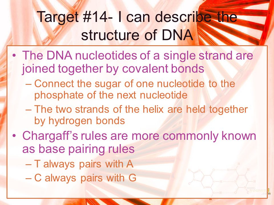 Target #14- I can describe the structure of DNA The DNA nucleotides of a single strand are joined together by covalent bonds –Connect the sugar of one
