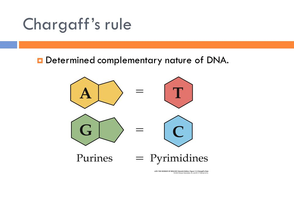 Chargaff's rule  Determined complementary nature of DNA.
