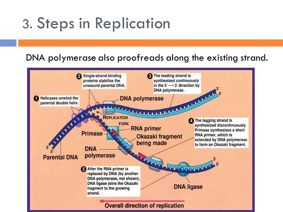 3. Steps in Replication DNA polymerase also proofreads along the existing strand.
