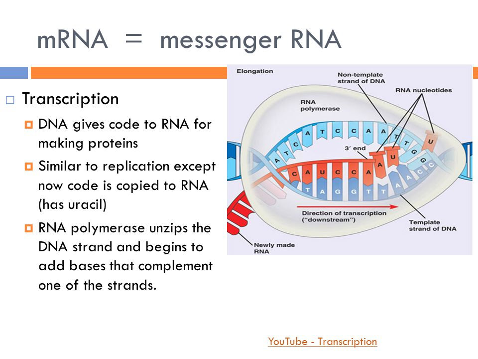 mRNA = messenger RNA  Transcription  DNA gives code to RNA for making proteins  Similar to replication except now code is copied to RNA (has uracil)  RNA polymerase unzips the DNA strand and begins to add bases that complement one of the strands.