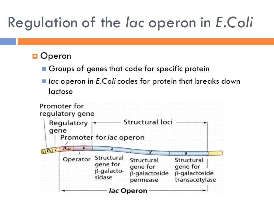 Regulation of the lac operon in E.Coli  Operon Groups of genes that code for specific protein lac operon in E.Coli codes for protein that breaks down lactose