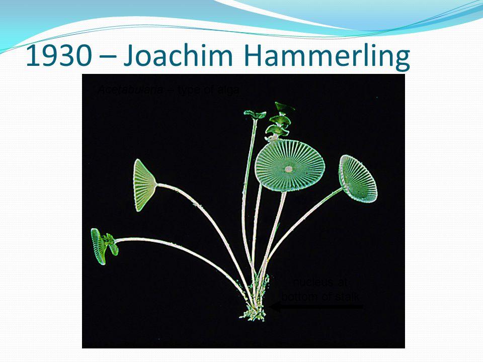 1930 – Joachim Hammerling nucleus at bottom of stalk Acetabularia – type of alga