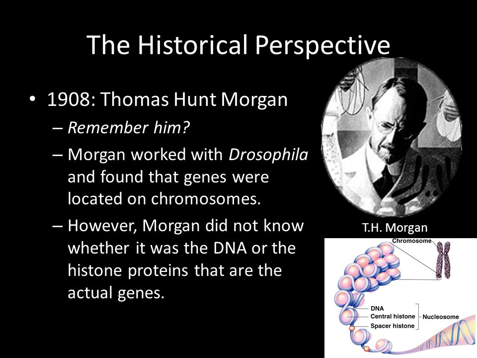 The Historical Perspective 1908: Thomas Hunt Morgan – Remember him? – Morgan worked with Drosophila and found that genes were located on chromosomes.