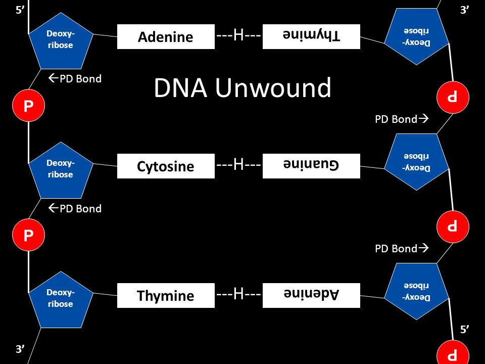 DNA Unwound Deoxy- ribose P Thymine Deoxy- ribose P Cytosine ---H--- 5' 3' Deoxy- ribose P Adenine  PD Bond PD Bond 
