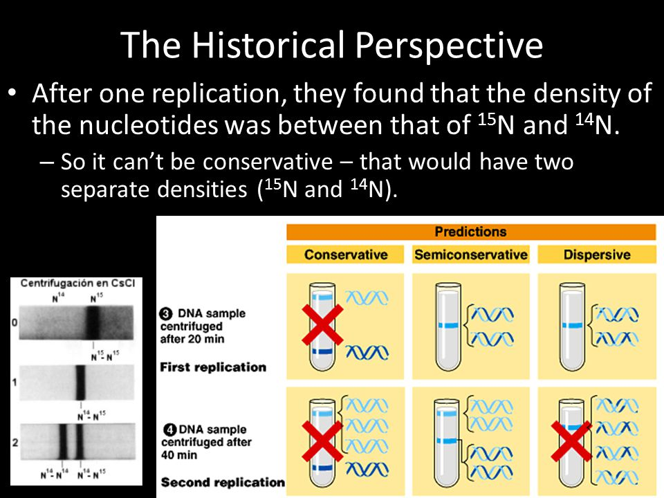 The Historical Perspective After one replication, they found that the density of the nucleotides was between that of 15 N and 14 N. – So it can't be c