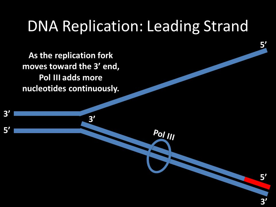 DNA Replication: Leading Strand Pol III As the replication fork moves toward the 3' end, Pol III adds more nucleotides continuously. 3' 5' 3' 5' 3'