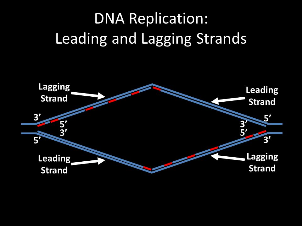 DNA Replication: Leading and Lagging Strands 3' 5' 3' 5' 3' 5' Leading Strand Lagging Strand Leading Strand Lagging Strand