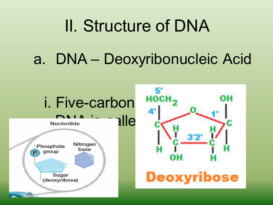 II. Structure of DNA a.DNA – Deoxyribonucleic Acid i.