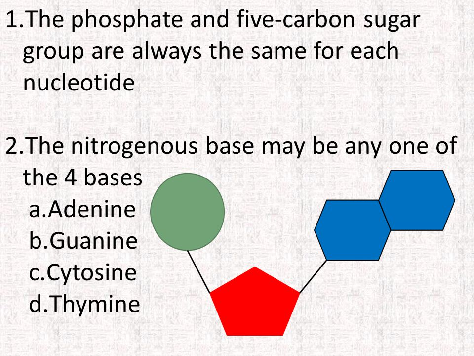 1.The phosphate and five-carbon sugar group are always the same for each nucleotide 2.The nitrogenous base may be any one of the 4 bases a.Adenine b.Guanine c.Cytosine d.Thymine
