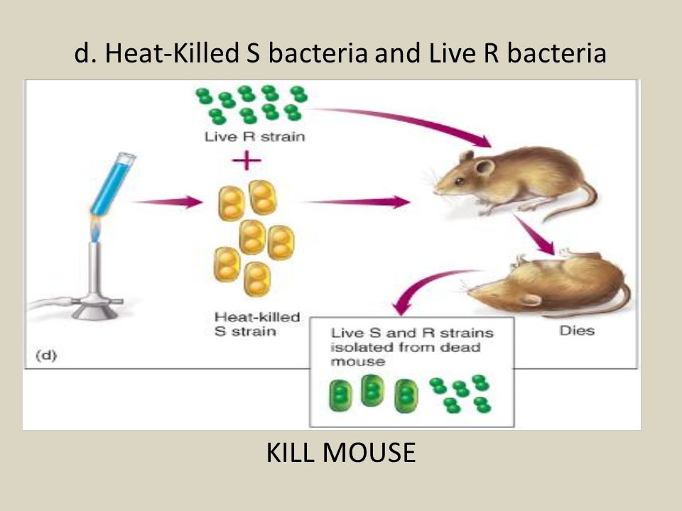 d. Heat-Killed S bacteria and Live R bacteria KILL MOUSE