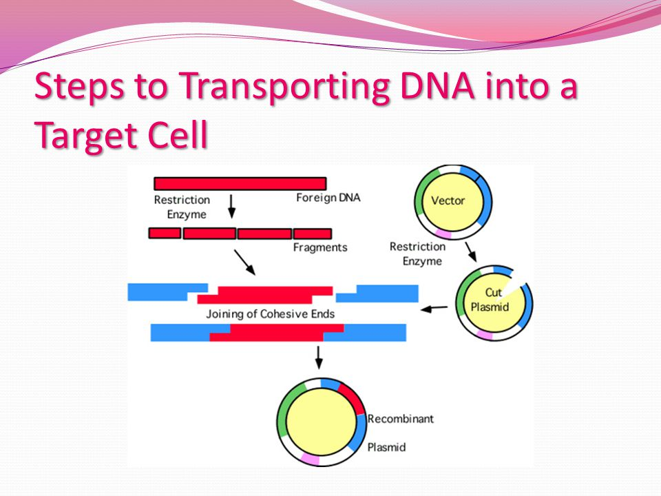 Steps to Transporting DNA into a Target Cell