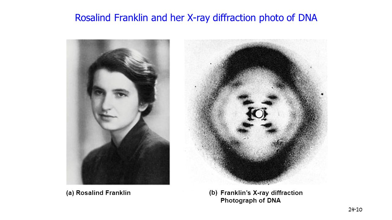24-10 Rosalind Franklin and her X-ray diffraction photo of DNA (a) Rosalind Franklin Franklin's X-ray diffraction Photograph of DNA (b)