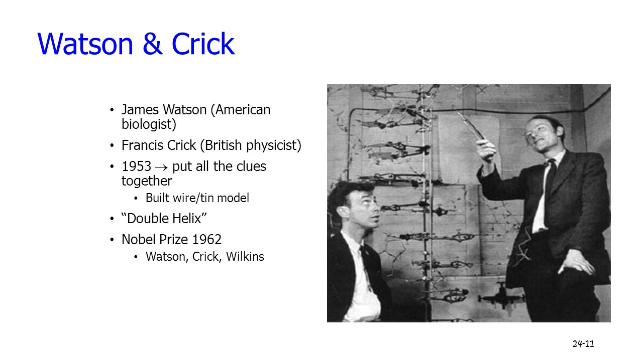 "24-11 Watson & Crick James Watson (American biologist) Francis Crick (British physicist) 1953  put all the clues together Built wire/tin model ""Doubl"