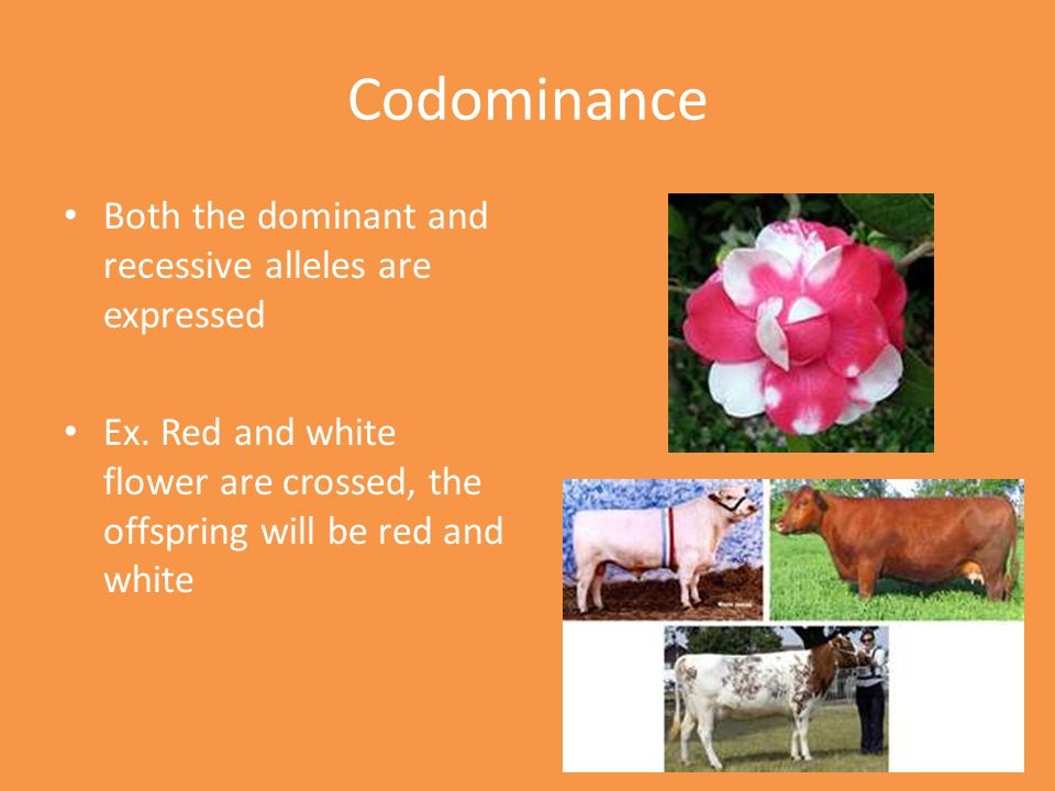 Codominance Both the dominant and recessive alleles are expressed Ex.