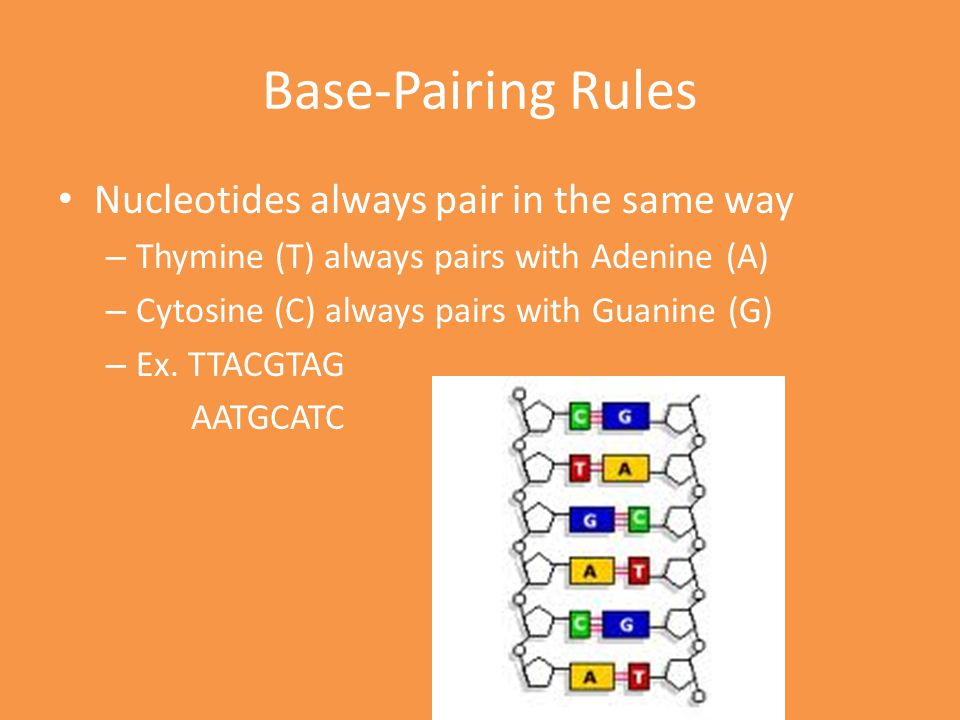 Base-Pairing Rules Nucleotides always pair in the same way – Thymine (T) always pairs with Adenine (A) – Cytosine (C) always pairs with Guanine (G) –