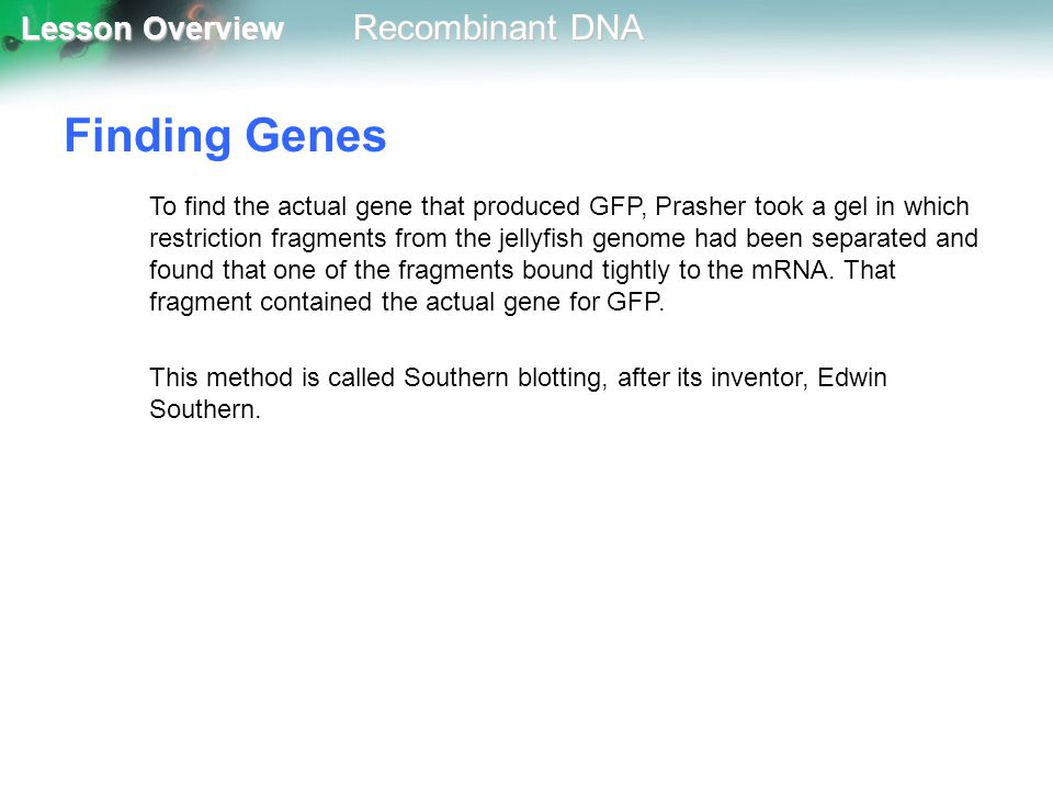 Lesson Overview Lesson Overview Recombinant DNA Finding Genes To find the actual gene that produced GFP, Prasher took a gel in which restriction fragm