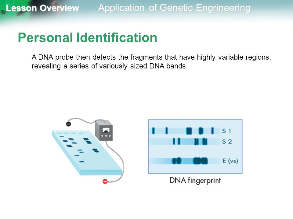 Lesson Overview Lesson Overview Application of Genetic Engrineering Personal Identification A DNA probe then detects the fragments that have highly va