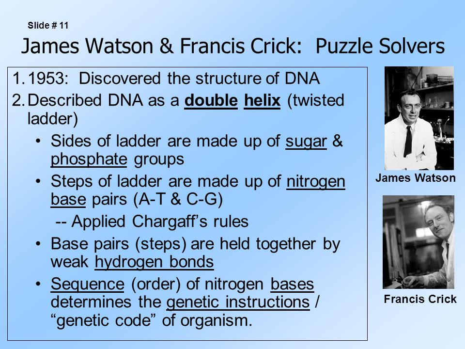 James Watson & Francis Crick: Puzzle Solvers 1.1953: Discovered the structure of DNA 2.Described DNA as a double helix (twisted ladder) Sides of ladde