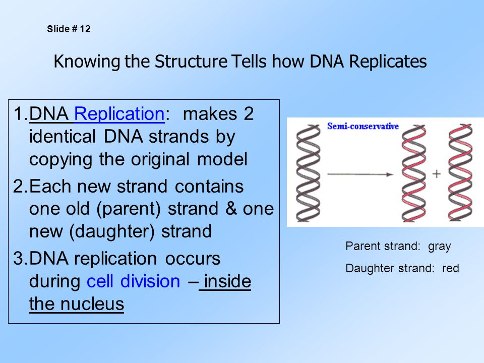 Knowing the Structure Tells how DNA Replicates 1.DNA Replication: makes 2 identical DNA strands by copying the original model 2.Each new strand contains one old (parent) strand & one new (daughter) strand 3.DNA replication occurs during cell division – inside the nucleus Slide # 12 Parent strand: gray Daughter strand: red