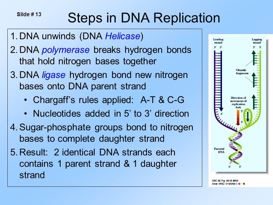 Steps in DNA Replication 1.DNA unwinds (DNA Helicase) 2.DNA polymerase breaks hydrogen bonds that hold nitrogen bases together 3.DNA ligase hydrogen b