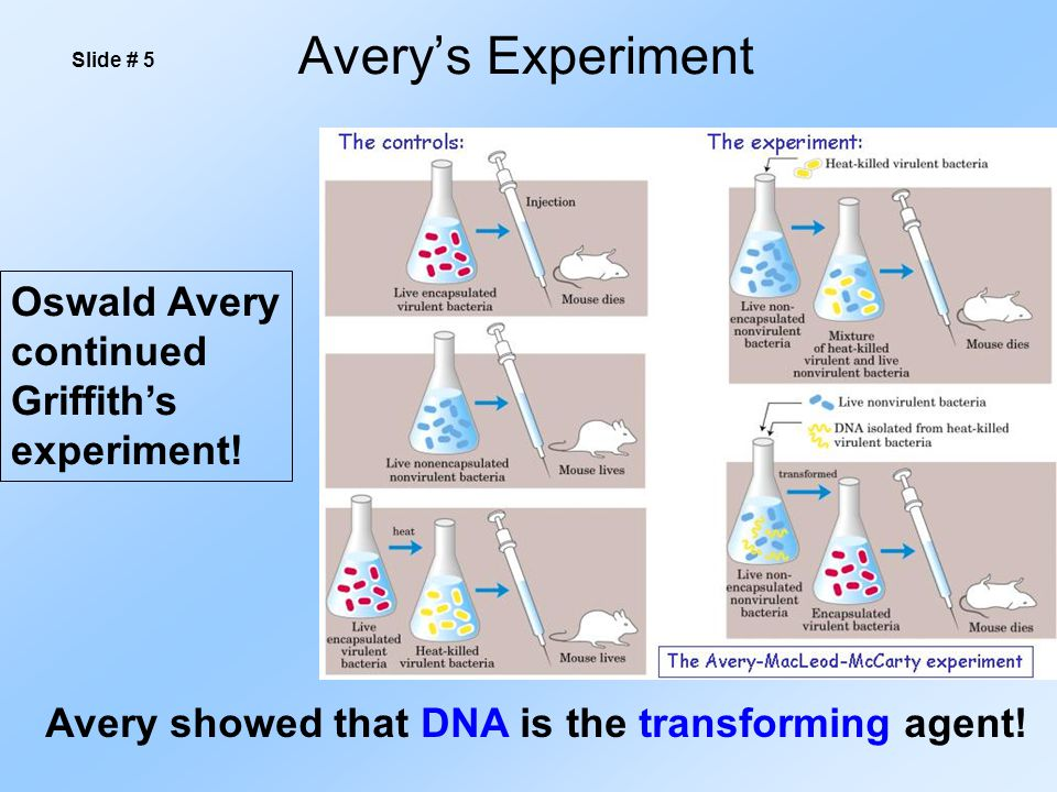 Avery's Experiment Slide # 5 Avery showed that DNA is the transforming agent! Oswald Avery continued Griffith's experiment!