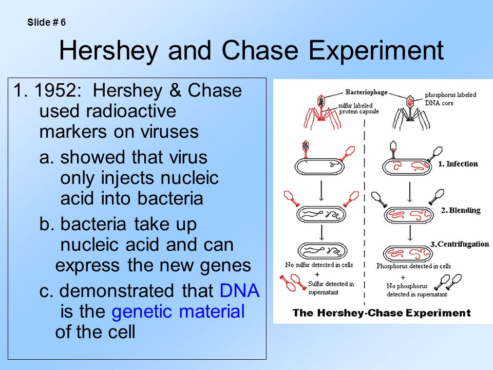 Hershey and Chase Experiment 1. 1952: Hershey & Chase used radioactive markers on viruses a.