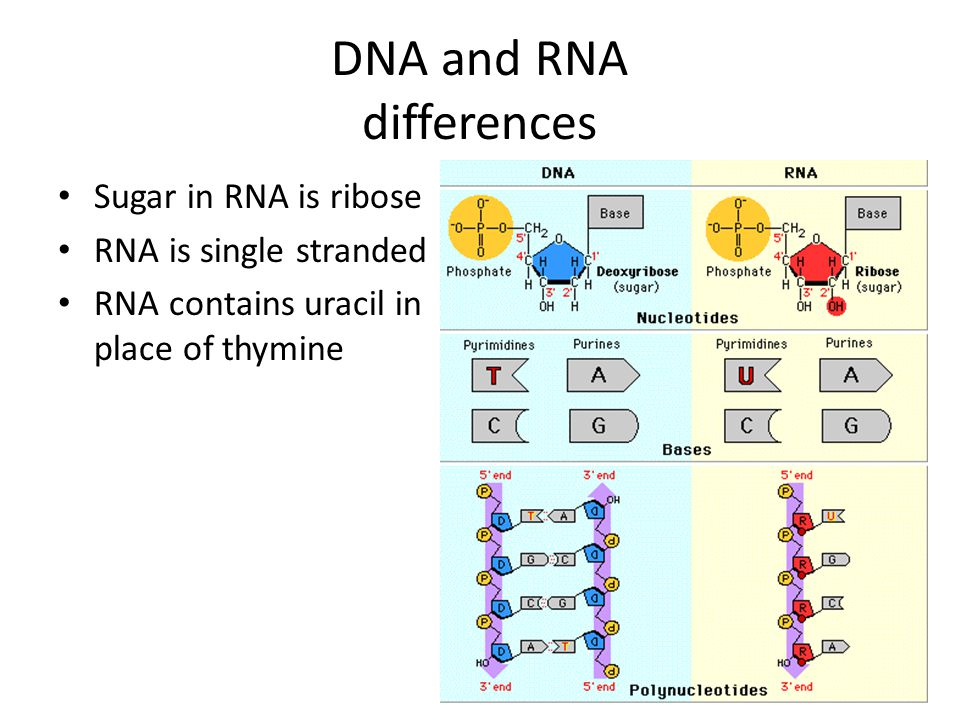 DNA and RNA differences Sugar in RNA is ribose RNA is single stranded RNA contains uracil in place of thymine