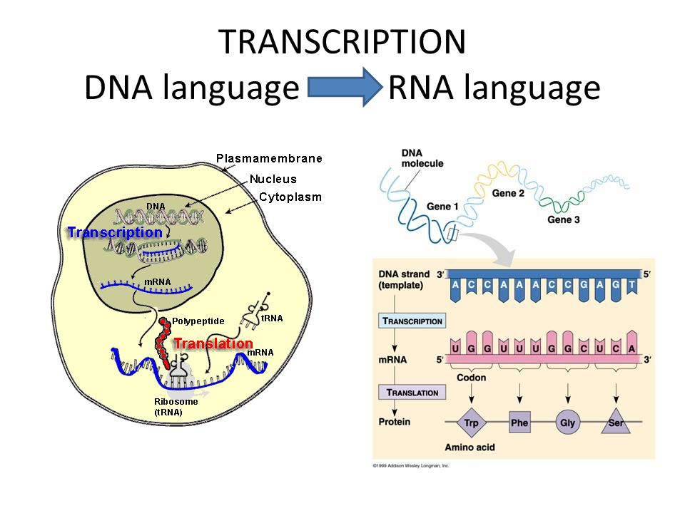 TRANSCRIPTION DNA language RNA language